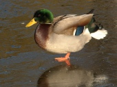 duck_oneleg