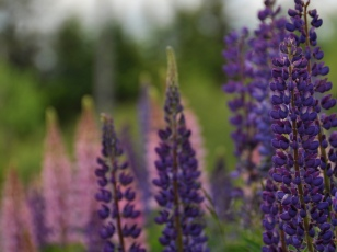 lupines4