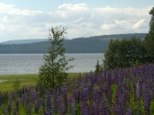 lupines5