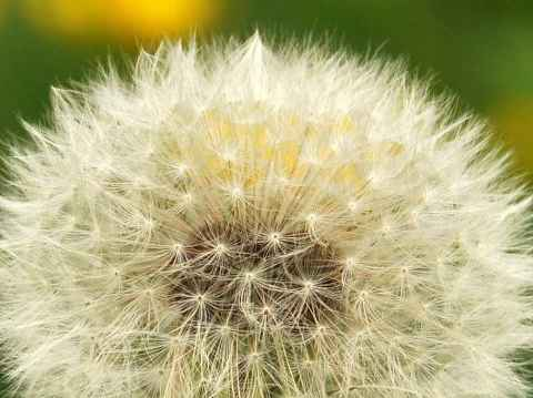 dandelion_close