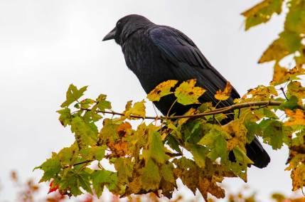 Crow ... contemplating