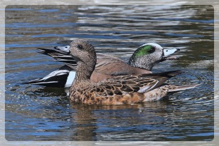 wigeon_couple_Fotor
