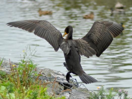cormorant_jumping