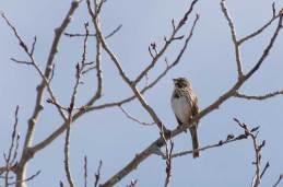 Sparrow ... singing