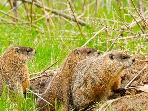 three_marmots