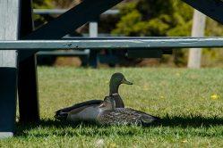 Mr. and Mrs. Mallard seeking shade underneath a picnic table