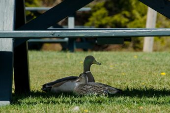 Mr. and Mrs. Mallard seeking shade underneath a picnic table