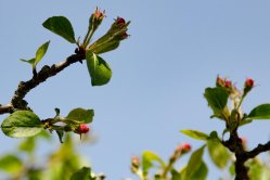 Won't be long before we have apple blossom.