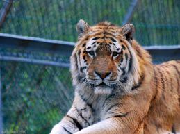 tiger, tiger ... burning bright ...
