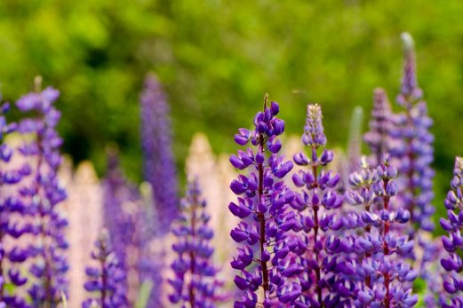more lupines