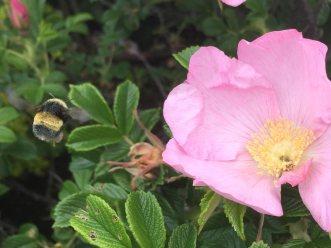 bumblebee_rose